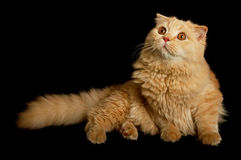 Scottish highland cat Stock Photo