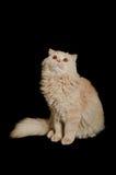 Scottish highland cat Stock Photography