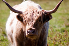 Scottish Highland Cattle Royalty Free Stock Photography