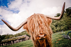 Scottish Highland Cattle. Highland cattle or kyloe are an ancient Scottish breed of beef cattle with long horns and long wavy coats Stock Image