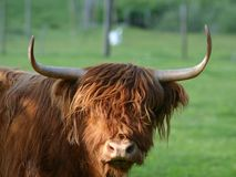 Scottish highland cattle. A scottish highland-cow Royalty Free Stock Photo