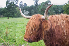Scottish highland cattle Stock Photo