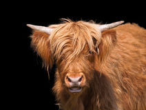 Scottish Highland cattle. Closeup against dark background Stock Images