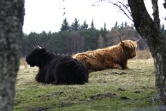 Scottish Highland Cattle. Chewing the cud Royalty Free Stock Image