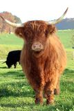 Scottish Highland Cattle. Brown Scottish Highland Cattle standing on a green meadow on a beautiful autumn day Stock Images