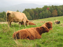 Scottish Highland Cattle in America. Scottish Highland cattle grazing on a hillside in New England Stock Images