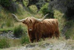 Scottish Highland cattle beast. Kelvin Heights Deer Park, Queenstown, South island, New Zealand Stock Images