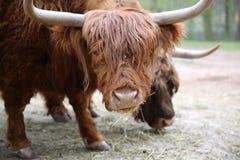 Scottish Highland Cattle. (Bos Primigenius Taurus Stock Photo