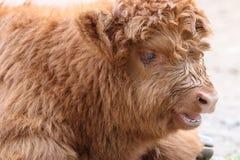 Scottish Highland Cattle. (Bos Primigenius Taurus Stock Images