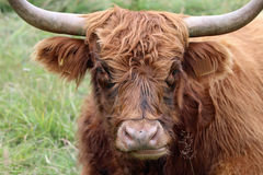 Scottish Highland Cattle. (Bos Primigenius Taurus) in Switzerland Stock Photography