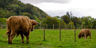 Scottish Highland Cattle. Brown Scottish Highland Cattle standing on a green meadow on a beautiful summer day Royalty Free Stock Photos