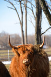 Scottish Highland Cattle chewing hay staring at camera vertical image. The Highland breed has lived for centuries in the rugged remote Scottish Highlands. The Stock Photography