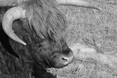 Scottish Highland Cattle close-up at sunrise. Scottish Highland cattle enjoying sunrise Stock Images