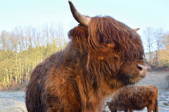 Scottish highland cattle. Cose-up of a young Scottish highland cattle on a white frost covered meadow Royalty Free Stock Photo
