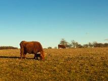 Scottish Highland cattle in a field. On coastal Massachusetts Royalty Free Stock Image