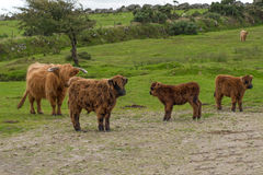 Scottish Highland Cattle. Flock of scottish highland cattle near the Colliford lake in the Bodmin Moor in cornwall Stock Photos