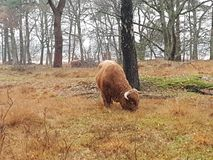 Scottish highland cattle in the forest of Eemnes grazing grass between trees in the Netherlands. Scottish highland cattle in the forest of Eemnes grazing grass stock photo