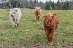 Scottish Highland cattle. Have long horns and long wavy coats Royalty Free Stock Photo