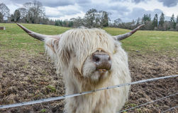 Scottish Highland cattle. Have long horns and long wavy coats Stock Photos