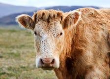 Scottish Highland cattle. Highland Cow, Scotland, UK Stock Photo