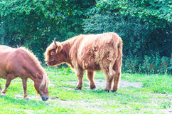 Scottish Highland cattle. Highland Cattle with Horse on a pasture in Germany, Europe Royalty Free Stock Photos