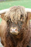 Scottish Highland Cattle. A male Scottish Highland Cattle from the front Stock Image