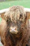 Scottish Highland Cattle Stock Image