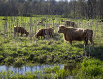 Scottish Highland Cattle in a Marsh. Scottish Highland cattle grazing in a marsh in New York`s Hudson Valley Royalty Free Stock Photos