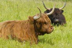 Scottish Highland Cattle in Meadow Stock Images