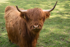 Scottish Highland Cattle on the meadow Stock Images