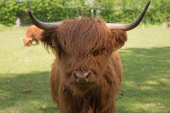 Scottish Highland Cattle on the meadow. Closeup Stock Photos