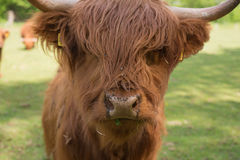 Scottish Highland Cattle on the meadow. Closeup Royalty Free Stock Image