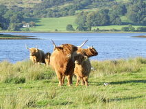 Scottish Highland cattle. Mother and baby in nature Stock Images