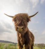 Scottish highland cattle. On a pasture Stock Photos