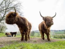 Scottish highland cattle. On a pasture Royalty Free Stock Images