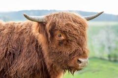 Scottish highland cattle. On a pasture Stock Image