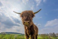 Scottish highland cattle. On a pasture Stock Photo