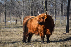 Scottish Highland Cattle in pasture. Red haired Highland Cattle, originated in Scotland by hay mound, with shaggy winter coat, alert stance. The Highland breed Royalty Free Stock Photography