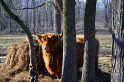 Scottish Highland Cattle in pasture. Red Highland Cattle, by hay mound surrounded by trees in the pasture, with shaggy winter coat, alert stance, hay draped over Stock Photos