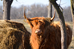 Scottish Highland Cattle in pasture staring ahead with hay mound and tree Royalty Free Stock Image