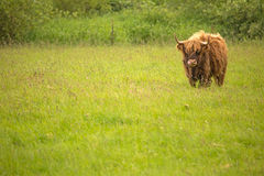 Scottish Highland Cattle. Portrait of a Scottish Highland Cattle in a green grass field Royalty Free Stock Image