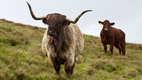 Scottish Highland cattle, rainy day Stock Images