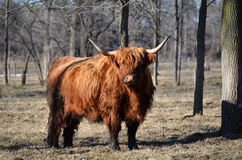 Scottish Highland Cattle. Red Highland Cattle, surrounded by trees in the pasture, muddy legs, with shaggy winter coat, alert stance, late winter Royalty Free Stock Photo