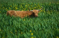 Scottish highland cattle standing in a field of yellow iris. In Texel - Netherlands Royalty Free Stock Image