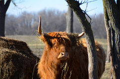 Scottish Highland Cattle staring in distance. Red Highland cow with hay draped over long, sharp horns. Standing next to hay mound. Red haired Highland Cattle Royalty Free Stock Photos