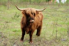 Scottish highland cattle. On a summer pasture Royalty Free Stock Image