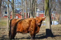 Scottish Highland Cattle in trees with red barns. Lone, red, long haired Highland cattle in the pasture during late winter with red farm buildings in background Royalty Free Stock Images
