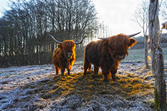 Scottish highland cattle Stock Image