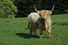 Scottish highland cow Royalty Free Stock Photos