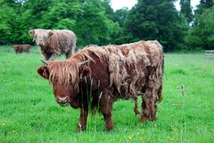 Scottish highland cow Stock Image
